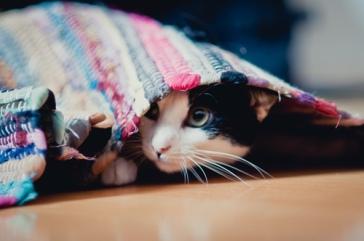 Cat-under-the-rug