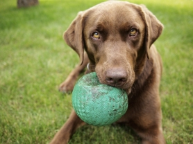 Brown Lab Ball